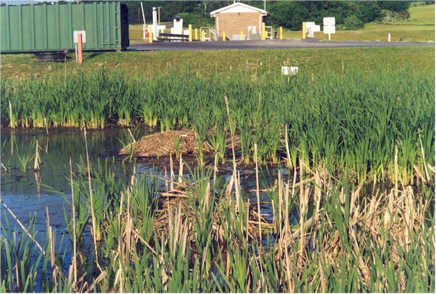 Massive typha and vegitation growth in a pond